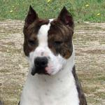 American Staffordshire-Terrier