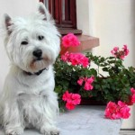 Perro West Highland White Terrier Mady