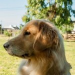 Perro Golden Retriever Shiva
