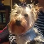 Perro Yorkshire Terrier Kity