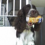 Perro English Springer Spaniel Choco