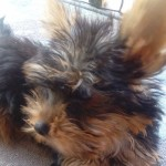 Perro Yorkshire Terrier Toy