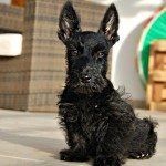 Perro Scottish Terrier Sasha