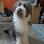 Perro Bearded Collie Athos