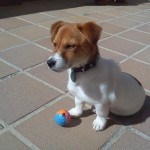 Perro Jack Russell Terrier Bourbon