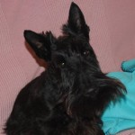 Perro Scottish Terrier Mac