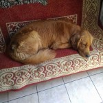 Perro Golden Retriever Rex