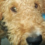 Perro Airedale Terrier Toto