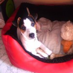 Perro Parson Russell Terrier Pipo