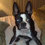 Perro Boston Terrier Lexy