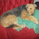 Perro Airedale Terrier lula