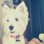 Perro West Highland White Terrier Lola