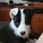 Perro Border Collie Tommy