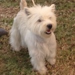 Perro West Highland White Terrier Lady