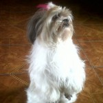Perro Lhasa Apso Dolly