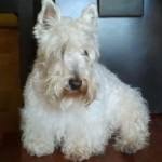 Perro Scottish Terrier Rexs