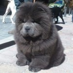 Perro Chow Chow Blue