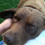 Perro Chesapeake Bay Retriever elina