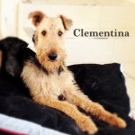 Perro Airedale Terrier Clementina