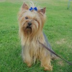 Perro Yorkshire Terrier Charly