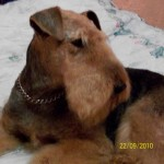 Perro Airedale Terrier Gina
