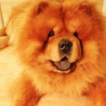 Perro Chow Chow Jagger