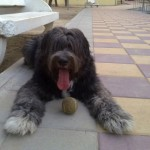 Perro Bearded Collie yacki