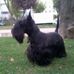 Perro Scottish Terrier Nono
