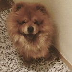 Perro Chow Chow Mozart