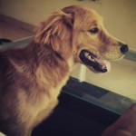 Perro Golden Retriever teodoro