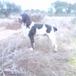 Perro English Springer Spaniel peke