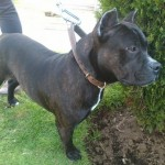 Perro American Staffordshire-Terrier RANDY