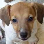 Perro Jack Russell Terrier Vicky
