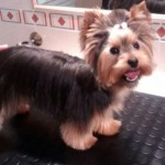 Perro Yorkshire Terrier Lucky