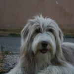 Perro Bearded Collie marley