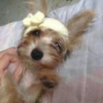 Perro Yorkshire Terrier Lady