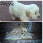 Perro Golden Retriever Mora