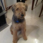 Perro Airedale Terrier Jacobo