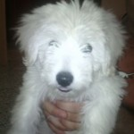 Perro West Highland White Terrier Bella