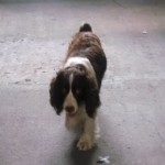 Perro English Springer Spaniel Rufus