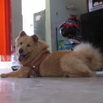 Perro Chow Chow Hachi