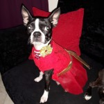 Perro Boston Terrier hannye