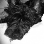 Perro Scottish Terrier Africa