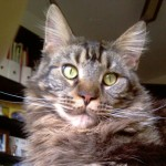 Gato Maine Coon Chester