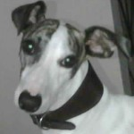 Perro Whippet Pavel