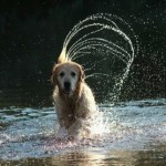 Perro Golden Retriever Irish