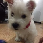 Perro West Highland White Terrier Lucky