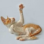 Gato Cornish Rex Benz