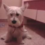Perro West Highland White Terrier Mailo
