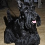 Perro Scottish Terrier bruno